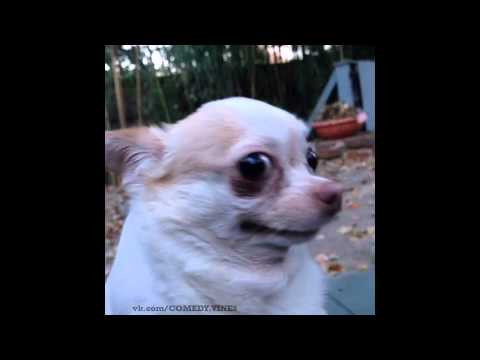 funny looking chihuahua vine