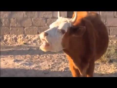 Funny Animals (Lustige Tiere) – Die lustige, sprechende Kuh (zum Totlachen!!)
