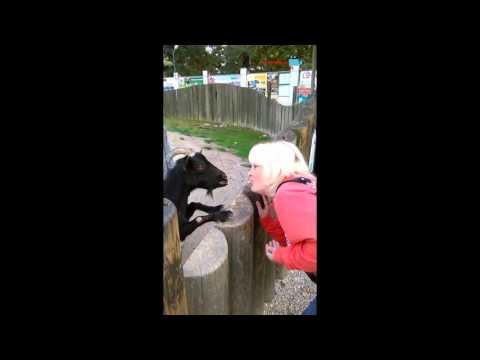 Krmení kozenek v zoo