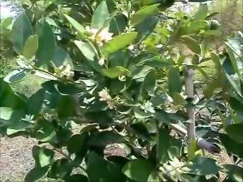 สวนมะนาว สอยดาวการ์เด้น