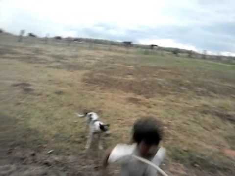 Cachorro que bate corda ( nova luzitânia)