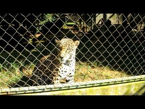 Brazilian conservationists try to save the American jaguar