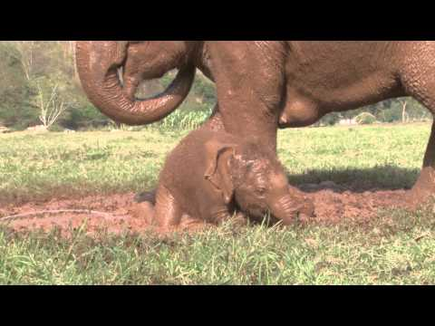 Bath - The baby elephant Dok-Mai has her first mud bath at elephant nature park watch how much fun ensues.