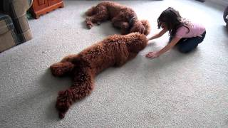 More Poodle Training