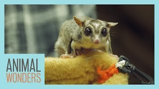 Our 4 Sugar Gliders | Update & Training Session by Animal Wonders