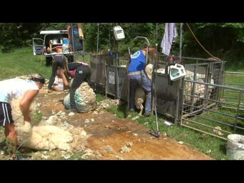 Video Sheep shearing: Children's DVD: Bee bright On the Farm: Amazing Animals (Justin Fletcher) download in MP3, 3GP, MP4, WEBM, AVI, FLV January 2017