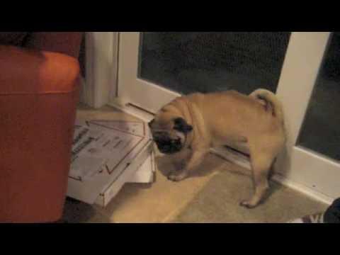 Overprotective Pug – Funny!
