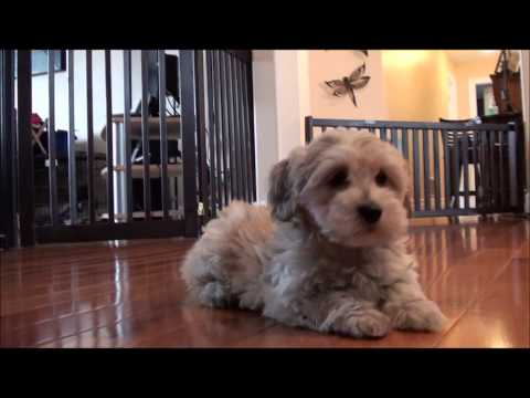 Havanese puppies for sale – April 6, 2013