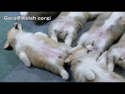 這6隻柯基寶寶在睡覺的畫面起初很溫馨,直到左下角那隻一動…救命啊!害我笑噴!