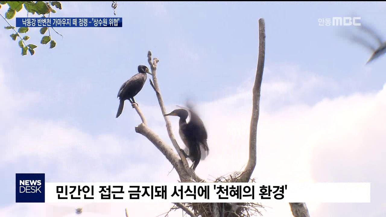 R]낙동강 반변천 가마우지떼 점령..