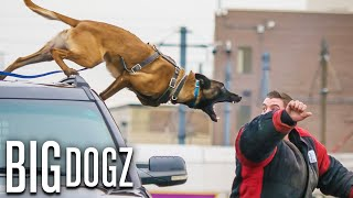 Belgian Malinois - The Guard Dogs Trained To Military Standards | BIG DOGZ by Barcroft Animals