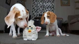 Dog Saves Puppy from Evil Furby: Cute Puppy Dogs Potpie & Maymo by Maymo