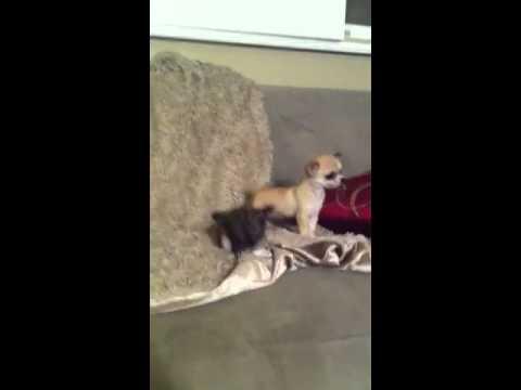 Teeny tiny chihuahua puppies playing!