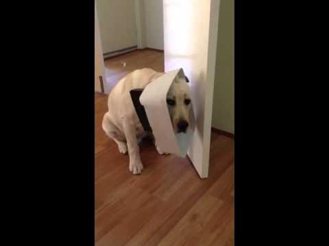 Guilty labrador