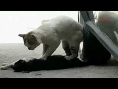 ¡Triste Historia! Gato le da un masaje cardíaco a su amigo