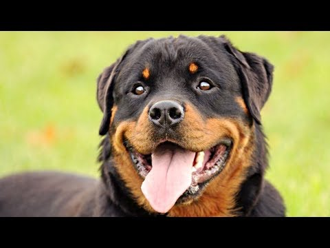 Funny And Cute Rottweiler Videos Compilation 2017 - Funny Dogs Video