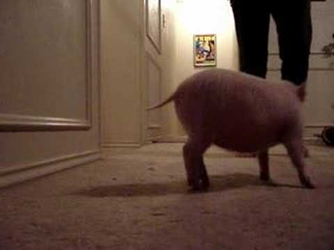 Piggy - This is Notorious P.I.G. or Miss Piggy for short. She is about 8 weeks old in this video. I taught her to sit in less than 5 minutes! So smart.