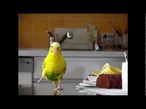 Parakeets Running In Slow Motion