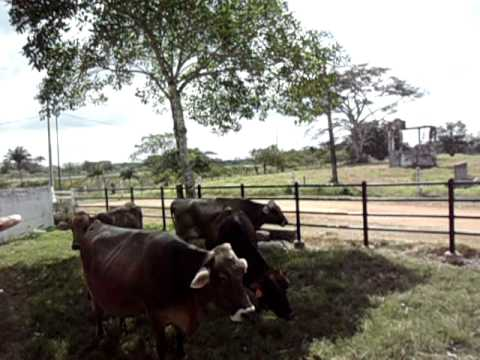 Ganado Suizo Americano de Registro, pastoreando Pasto Mulato II