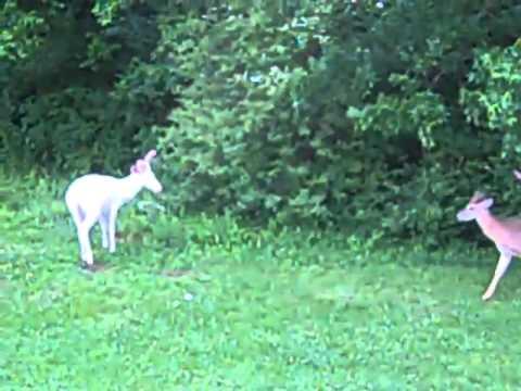الغزال الأبيض حيوان مهدد بالإنقراض