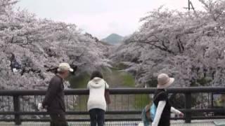 五条川小弓の庄・桜コンサート(1)ちびっこするすみ和太鼓演奏