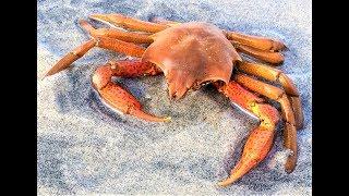Kelp Crab found Del Mar Dog Beach San Diego California Ocean Sea Rocks Water