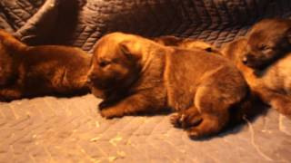 """Incredible dark sable and bi-color puppies for sale. I do only a few litters a year....if not one...I breed high quality not quantity. the father of this litter you have seen in plenty of videos with my daughter Valentina. He is Leo. the bi-color GSD...his work ability is uncontested...and the female she is not any less..My GSD they do reproduce themselves so these puppies I am expecting them to be high drive with incredible prey drive and fight drive...with solid nerves and a clear mind...most of the time i keep all of the  puppies and sell them when they are young adult to law enforcement...or i completely train them for personal protection....so this is an opportunity for you guys if you would like to own one of my GSD....if you are interested please send me an e-mail to GERMANSHEPHERDNATION@YAHOO.COM or come to my page on Face Book .."""" K9 German Shepherd Nation """" and send me a private message...please only serious inquiries"""