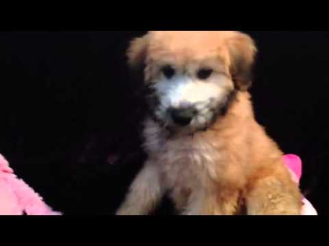 TEDDY BEAR WHEATEN TERRIER FEMALE
