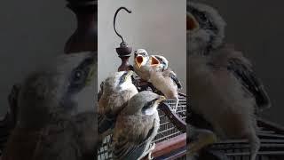 Cara memberi makan anak burung cendet  biar sehat
