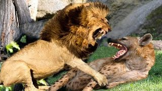 Lion real fight Hyena,Lion want destroy Hyena to win prey - The short life of Hyena