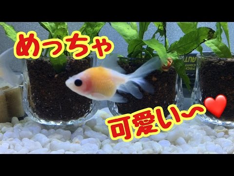 可愛い金魚がやってきた!【ピンポンパール】
