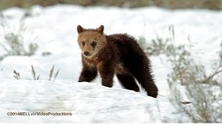 SPRING GRIZZLY BEARS 2014  HD