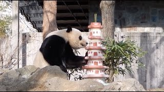 Giant Panda Bao Bao Leaves US for Home