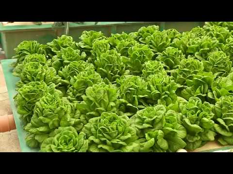 Video: Oman's first aquaponics farm to promote organic produce