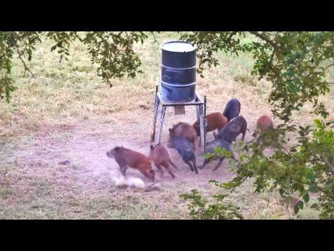 3 PIGS 2 ARROWS!! Texas BOWHUNT!