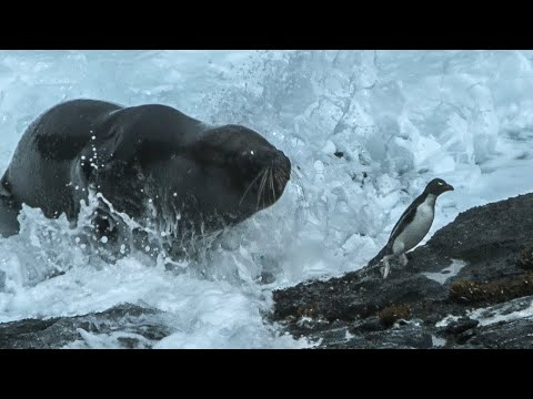 Huge Sea Lion attacks and eats Penguins - Wild Patagonia - BBC Earth (видео)