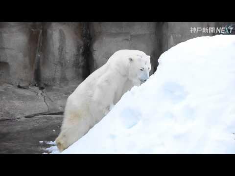 神戸・王子動物園でホッキョクグマが雪遊び