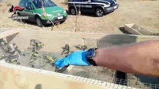 Reggio Calabria: i Carabinieri Forestali liberano 550 volatili protetti catturati da un bracconiere