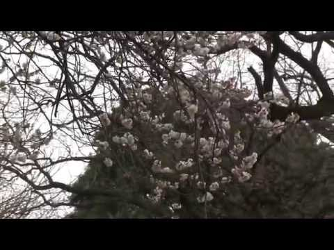 Plum Blossoms in Tokyo  梅 Ume (видео)