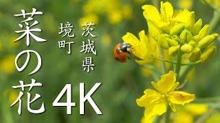【絶景茨城】菜の花[4K]茨城県境町|VISIT IBARAKI, JAPAN