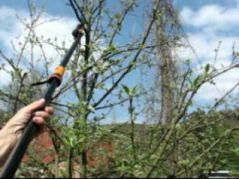 Jak správně ostříhat ovocný strom