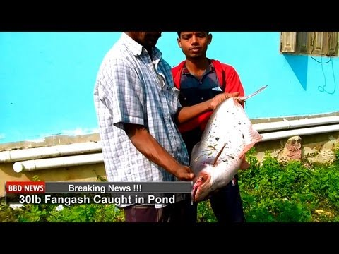 sylhet - Catching fish using local fisherman in our pond in Nabigonj, Sylhet, Bangladesh. We do this once a year and the catch was good this year as you will see in t...