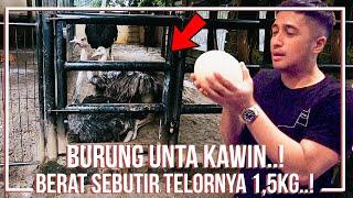 Download Video BURUNG UNTA KAWIN..!! BERAT SEBUTIR TELORNYA 1,5KG..!! MP3 3GP MP4