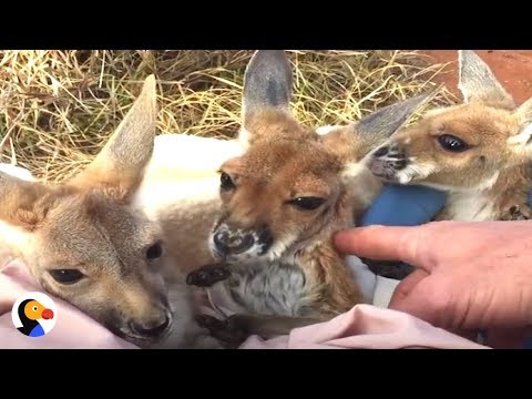 The Man Who Became Mother to Kangaroos