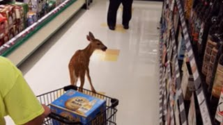 See Deer Walk in to Grocery Store Through Automatic Doors