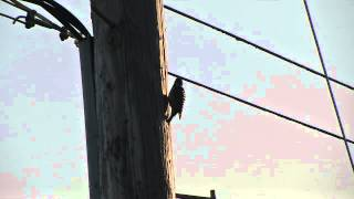 Woodpeckers on my telephone pole; one disappears when the second shows up.