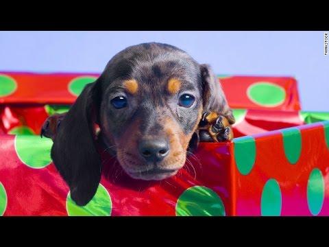 Video Perrito de la Navidad Sorpresa 2014-2015 download in MP3, 3GP, MP4, WEBM, AVI, FLV January 2017