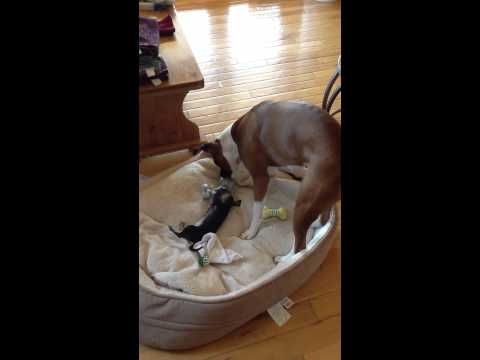 Boxer and Chihuahua having a play date