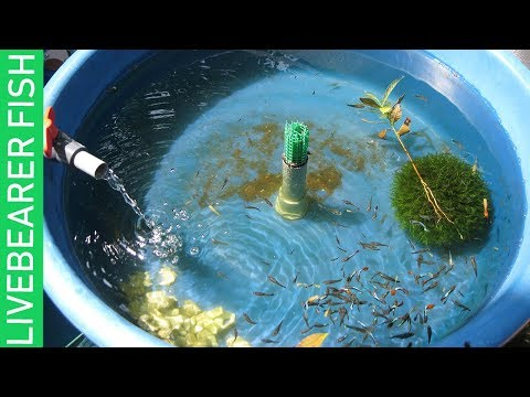 BREEDING LIVEBEARER FISHES & A TOUR TO MY PETS!
