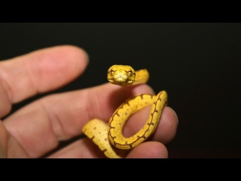 Video How to Feed a Baby Snake | Pet Snakes download in MP3, 3GP, MP4, WEBM, AVI, FLV January 2017